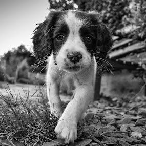 Mali by Hannah Rugg - Animals - Dogs Puppies ( springer spaniel, puppy, cute, dog )