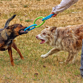 Refereeing the Game by Twin Wranglers Baker - Animals - Dogs Playing (  )