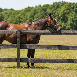At the Rail by Dominick Bianco - Animals Horses ( horses, sun, summer time )