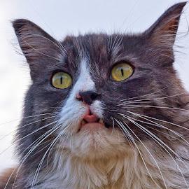 Feline Rasberry by Twin Wranglers Baker - Animals - Cats Portraits