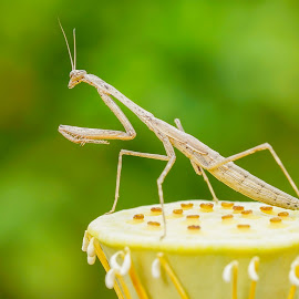 Mantis by Minh Hải - Animals Insects & Spiders ( nature, green, sunlight )