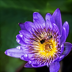 Water Lily with Friends  by Joseph Vittek - Flowers Single Flower ( water, waterlily, purple, lily, april, 2016, yellow,  )