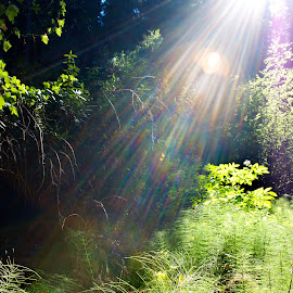 Sun in the Forest by Jim Lipschutz - Nature Up Close Trees & Bushes ( wilderness, environment, nature, spiritual, trees, forest, sunlight, light, woods, relax, tranquil, relaxing, tranquility )