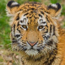 Tiger Junges by Elke Krone - Animals Lions, Tigers & Big Cats ( tiger, ein, tigerkind, tierkind, tigerportrait )