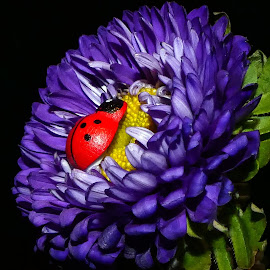 Chineese Ladybug by Dave Walters - Flowers Single Flower ( nature prop, red, purple, nature, ladybug )