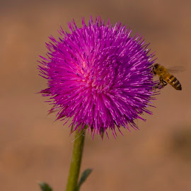 Bee visiting Thistle flower  by Pete Bobb - Nature Up Close Other Natural Objects ( pollen, thistle, bee, platte river, purple flower )