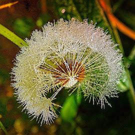 Dandelion by Tihomir Beller - Nature Up Close Other plants