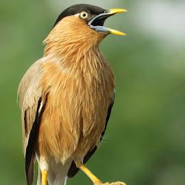 Calling by Kishan Meena - Animals Birds ( bird, nature, myna, natural )