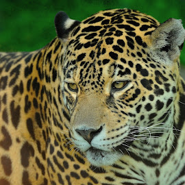 Jaguar by Tomasz Budziak - Animals Lions, Tigers & Big Cats ( jaguar, animals )