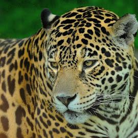 Jaguar by Tomasz Budziak - Animals Lions, Tigers & Big Cats ( jaguar, animals,  )