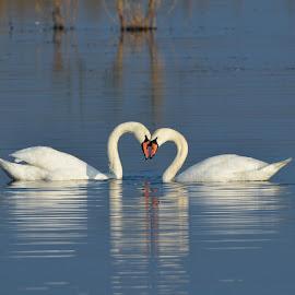 tenderness by Ss Silvius - Animals Birds ( bird, love, tender, wildlife, swan )