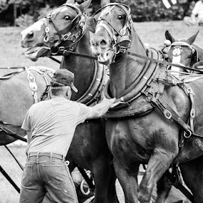 Chomping at the Bit by Christy Borders - Animals Horses ( equine, black and white, horse, intense, driving team, pwc76, belgian, draft horses, percheron, farm horses, animals in motion, power, motion, equus ferus caballus, animal )