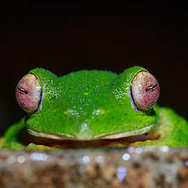 Malabar Gliding Frog-Eyes of Jungle!! by Girish Muchal - Animals Amphibians ( frog, malabar gliding frog )