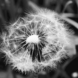 Dandelion B/W by Glyn Lewis - Nature Up Close Other plants (  )
