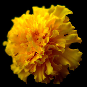 Marigold by CRISTINA  CASTRO - Nature Up Close Flowers - 2011-2013 ( marigold, bloom, yellow, golden, flower )