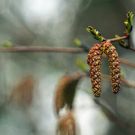 Alder Catkins by Julio Cardona - Nature Up Close Leaves & Grasses ( places, botanic, nature, light, alaska, patterns, tree, catkins, seed pods, abstract photography, colors, alder )