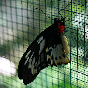 at cage by Putu Purnawan - Animals Insects & Spiders ( butterfly, reservation, cage )