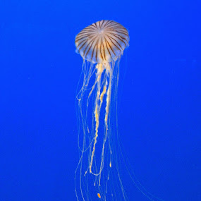 Jellyfish by Leimaile Guerrero - Animals Sea Creatures ( sea creature, underwater, jelly, jellyfish )