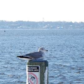 Winter Gull by Kristine Nicholas - Novices Only Wildlife ( icy, wood, waterscape, seagulls, ocean, beach, landscape, birds, gull, pole, cold, ice, snow, pier, gulls, sea bird, water, waterbird, sea, snowy, seascape, piling, seabird, water bird, sign, bird, wooden, winter, seagull, blue, reservation, sea gulls, sea gull, waterway )