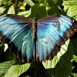 blue murpho (3).JPG
