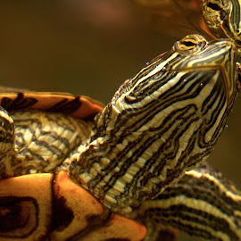 look it's me by Kevin Frick - Animals Reptiles ( reflection, turtle )
