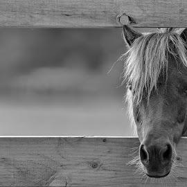 Horse by Steve Badger - Animals Horses ( farm, black and white, australia, stare, horse,  )