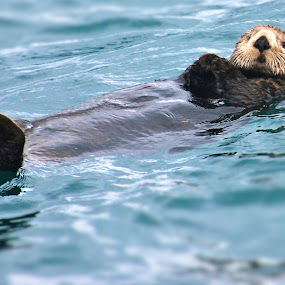 Alaskan otter by Steve Outing - Animals Sea Creatures ( otters, alaska,  )
