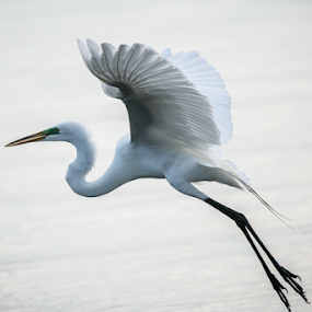 Flying by Cristobal Garciaferro Rubio - Animals Birds ( wings, white, heron egret, egret, great egret )