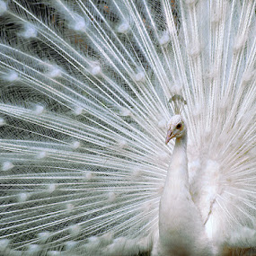 White peacock by Prana Jagannatha - Animals Birds ( bird, wildlife )