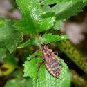 Hemipteran Nymph