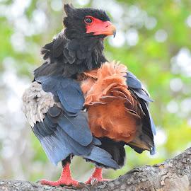 Bateleur Eagle by Diane Rogers Jones - Novices Only Wildlife