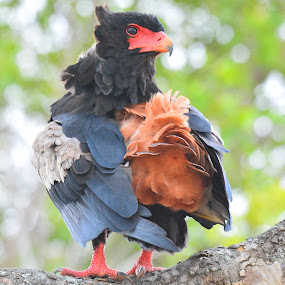 Bateleur Eagle by Diane Rogers Jones - Novices Only Wildlife (  )