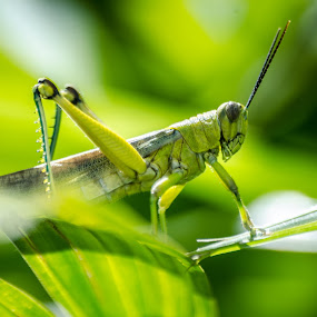 Grass Hopper by Cristopher Selga - Animals Insects & Spiders ( bell, macro, grass, green, insects, grass hopper )