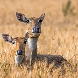 Motherly Love by Sanjeev Goyal - Animals Other Mammals ( field, wild, ear, jungle, bluebull, wildlife, mammal, deer, animal )