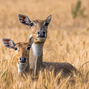 Motherly Love by Sanjeev Goyal - Animals Other Mammals ( field, wild, ear, jungle, bluebull, wildlife, mammal, deer, animal,  )