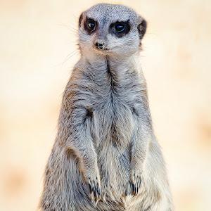 Meerkat-7.jpg