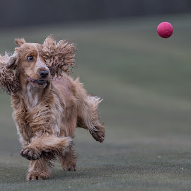 Playing with my red ball by Ole Walter Sundlo - Animals - Dogs Playing ( dog running, dogs, cocker spaniel, dog playing, dog )