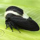 Soldadinho (Portuguese helmet treehopper)