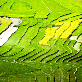 Rice field . by Hai Le - Landscapes Prairies, Meadows & Fields