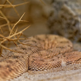 Viper in sand by Michaela Firešová - Animals Reptiles ( sand, snake, viper, reptile )
