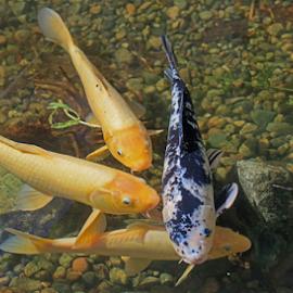 Koi by Lauren Manzano - Animals Fish