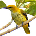 Indian golden oriole- Female