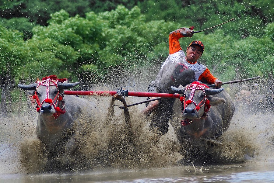 Buffalo Race (Sumbawa Culture) by Saiful Muslimin - News & Events World Events ( sports, transportation, travel, culture )