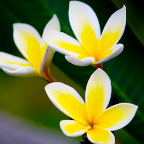 Plumeria Bunch by Nicolas Los Baños - Nature Up Close Flowers - 2011-2013 ( plumeria, aloha, tropical, garden, hawaii, flower,  )