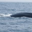 Blue Whale (partial view)