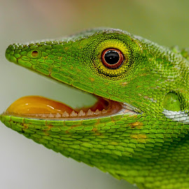 Smile..you're on camera by Glenn WS - Animals Reptiles ( #teeth, #reptile, #green, #closeup, #chameleon, #reptiles )