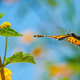 Glider approach by Kevin Mummau - Animals Insects & Spiders ( body, butterfly, butterflies, colorful, color, monarch, wings )