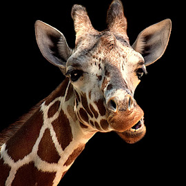 Giraffe Smiles! by Shawn Thomas - Animals Other Mammals