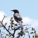 Woodhouse's Western Scrub Jay