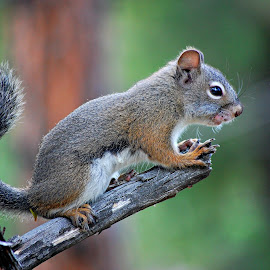 Squirrelly Sensei by Ally Skiba - Animals Other Mammals ( perched, colorado, nature up close, boulder, woods, hike, squirrel, sensei )